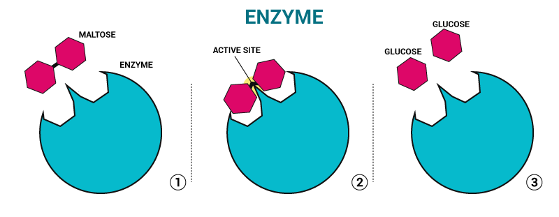 role of enzymes expii