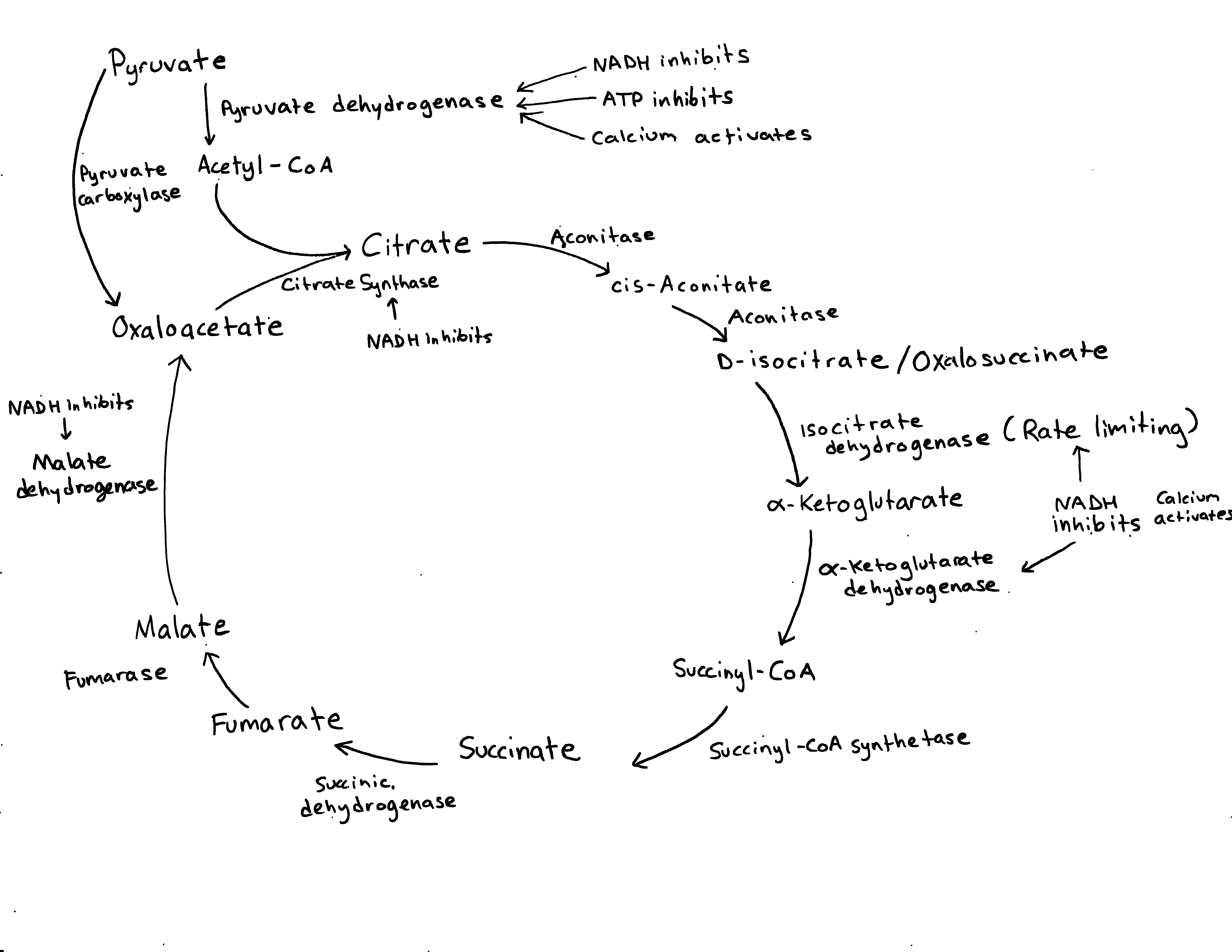 the image shows the krebs cycle with only enzymes and their regulating  molecules represented  more