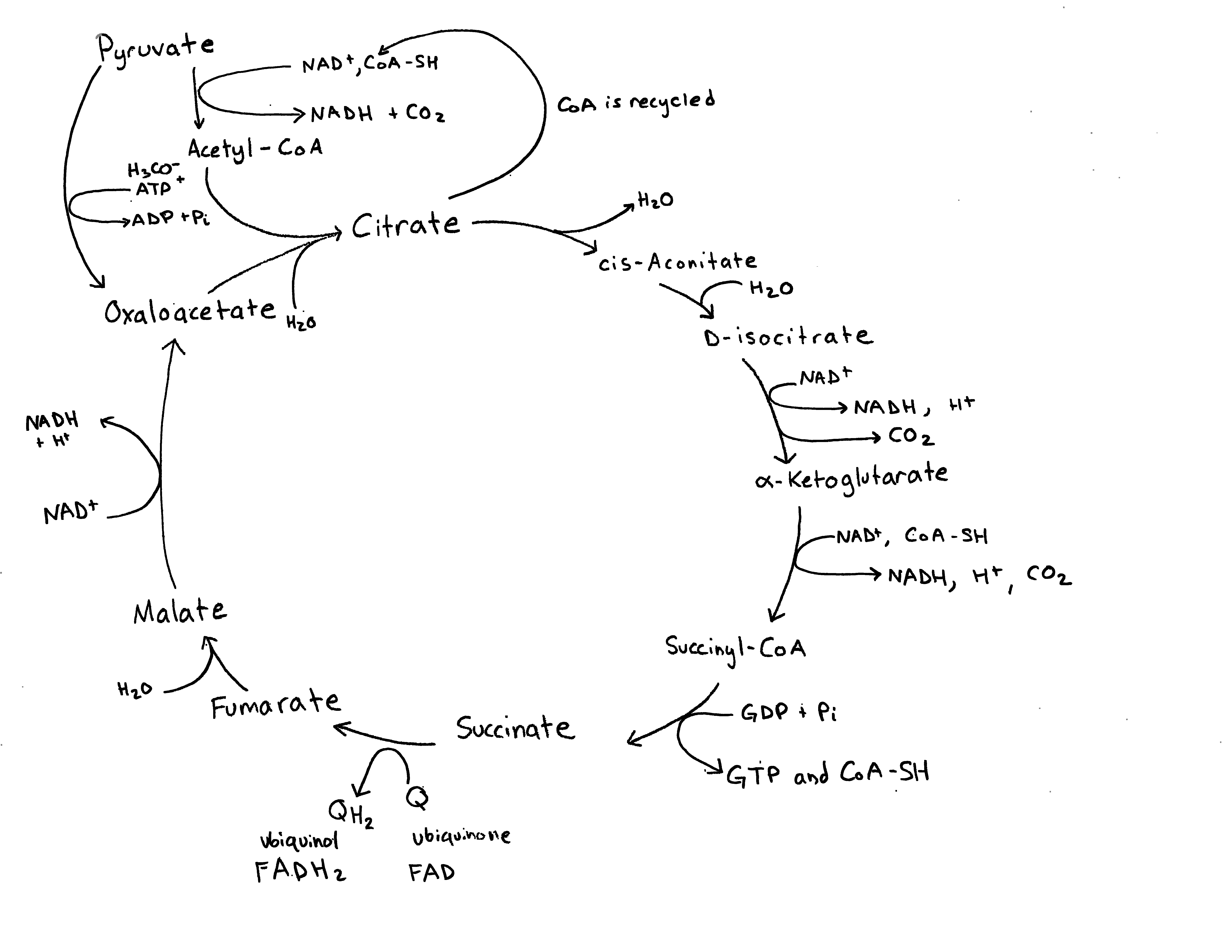 the image shows the krebs cycle with nad, adp, gdp, h2o, and