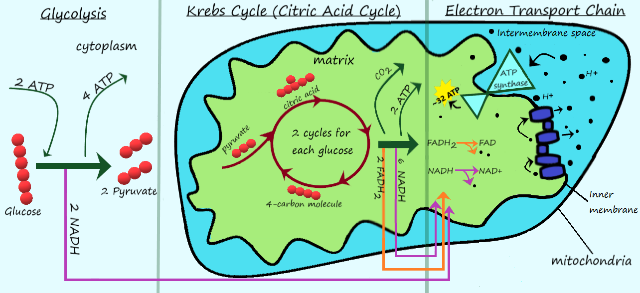 What is cellular respiration expii a diagram of cellular respiration ccuart Images