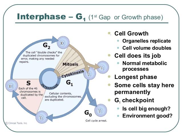 g1 phase