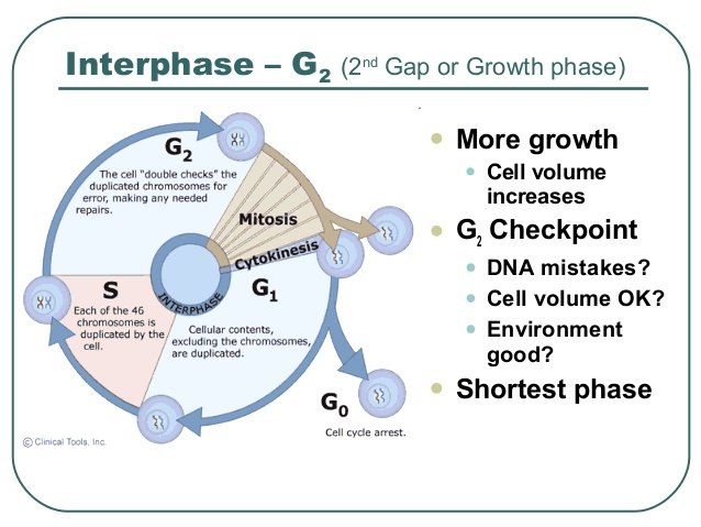 what occurs in each stage of the audit life cycle The cell cycle is an ordered series of events involving cell growth and cell division that produces two new daughter cells cells on the path to cell division proceed through a series of precisely timed and carefully regulated stages of growth, dna replication, and division that produces two identical (clone) cells.